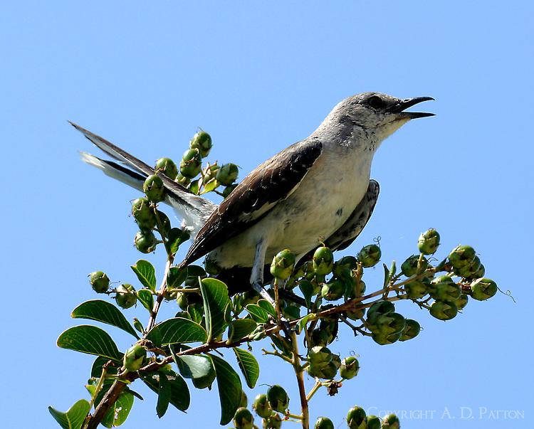 Adult northern mockingbird defending nest area