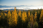 Washington, Colville National Forest. Looking east to the Selkirk Range from Chewelah Mountain.  Morning fog hangs over the Pend Oreille Valley, and western larch illuminated by the morning sun in autumn.