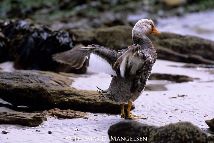 Falkland Steamer Duck (Tachyeres brachypterus) Carcass Island