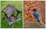 Birdfeeder and Mountain Bluebird. .  John leads private, wildlife photo tours throughout Colorado. Year-round.