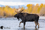 Large bull moose crossing river during the rut. Grand Teton National Park, Wyoming.