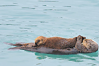 Alaskan or Northern Sea Otter (Enhydra lutris) mother nursing young pup.