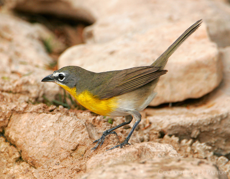 Yellow-breasted chat adult male on rocks