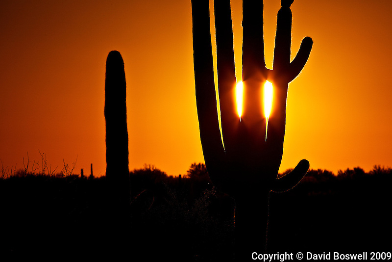 The setting sun seen through the arms of a saguaro in Catalina State Park north of Tucson, Arizona.