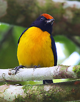 Tawny-capped euphonia male