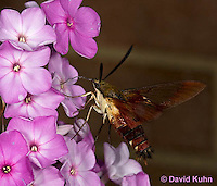 0903-0802  Flying Hummingbird Clearwing Moth Feeding on Nectar, Hemaris thysbe © David Kuhn/Dwight Kuhn Photography.