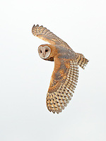 A barn owl flies over a marshland in search of mice and voles, its primary prey.<br /> Near Stanwood, Washington<br /> 8/28/2016<br /> <br /> Naturescapes.net Editor's Pick 8/30/2016