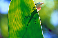 A green anole peers out from behind a leaf, with its shadow revealing the rest of its body, Daytona Beach, FL . (Photo by Brian Cleary / www.bcpix.com)