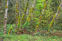 ORCAN_D250 - USA, Oregon, Cascade Range, Wildwood Recreation Site, Lush grove of red alder thrives in seasonally flooded area.
