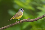 Mourning Warbler (Oporornis philadelphia), male singing in spring, Caroline, New York, USA