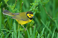 591920024 a wild male hooded warbler setophaga citrina - was wilsonia citrina - perches on a grass stem on south padre island cameron county texas united states