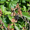 Blackcurrant bush infected with gooseberry dieback, which also affects currants. The fungus, botrytis or eutypa, causes leaves to turn brown and whole stems to die.