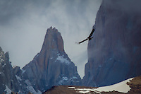 Andean Condor flying near the peaks of Fitzroy Massif at El Chalten in Patagonia