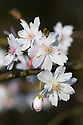 Blossom of winter cherry (Prunus subhirtella 'Autumnalis'), late March. Also known as the autumn-flowering or rosebud cherry.