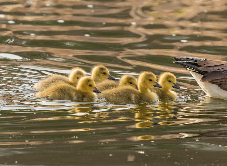 Canada Goose (Branta canadensis), goslings swimming after their parent, New York, USA
