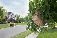 An active Wasp's Nest has moved into a Residential Neighborhood