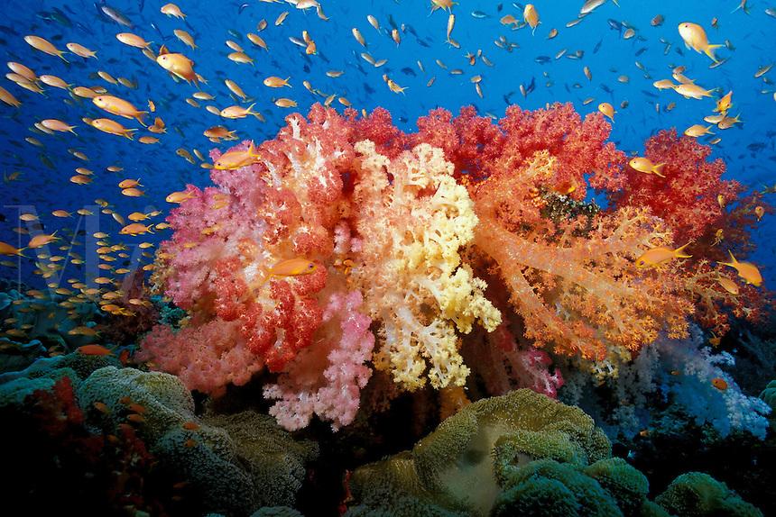 Tropical coral reef, Fiji, Pacific Ocean