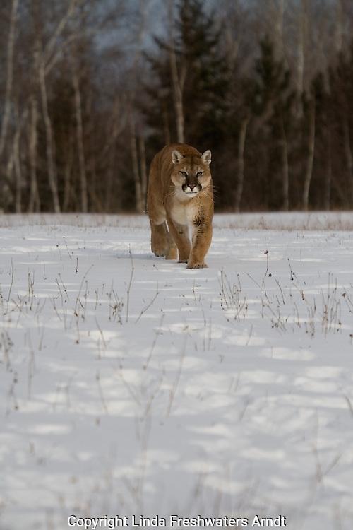Cougar (Felis concolor) walking in the snow