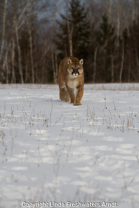 Cougar (Felis concolor) walking in the snow