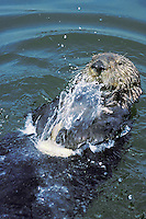 Sea otter breaking (opening) clam on rock for food.  Illustrates use of tool.