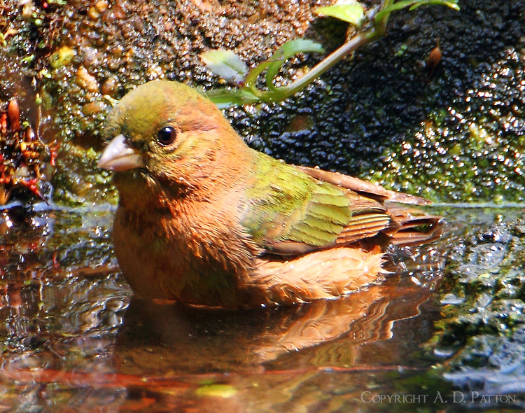 Painted bunting in unusual uimmature plumage