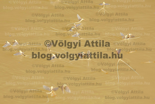 Yearly swarming of the long-tailed mayfly (Palingenia longicauda) called Tiszaviragzas (Blooming of Tisza) on the river Tisza in Tiszainoka (some 135 km south-east from Budapest), Hungary on June 20, 2012. ATTILA VOLGYI