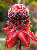 Costa Rica abounds in exotic triopical flowers and plants. This is a red torch ginger flower.
