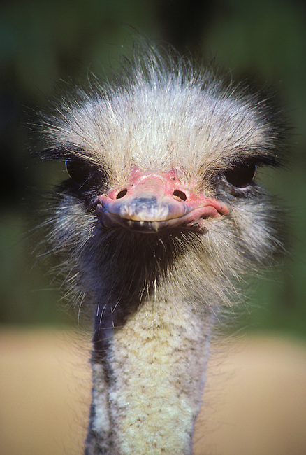 Close-up, ostrich head stares at camera, Highgate Ostrich Farm. Oudtshoorn, South Africa.