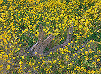 132000005 a field of blooming goldfields lashenia chrysostoma surround a cholla cactus skeleton in an open field in san diego county californai