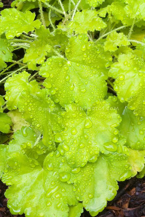 Heuchera Key Lime perennial foliage plant