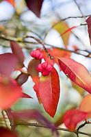 Euonymus Europeus 'Scarlet Wonder'