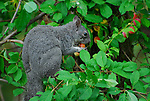 Western gray squirrel eating fruit