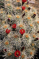 A cactus blooms in Canyonlands National Park, Utah.