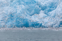 Gulls in flight in front of the face of the Chenega Glacier, which flows out of the Sargent Ice Field, Nassau Fjord, Chugach National Forest, Kenai Peninsula, southcentral, Alaska.