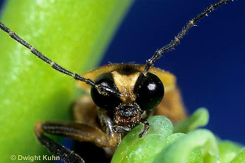 1C24-009z  Firefly - eyes - Photuris pennsylvanicus