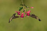 Black-chinned Hummingbird (Archilochus alexandri), adult males feeding on blooming Fuchsia, Hill Country, Texas, USA