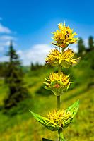 Great Yellow Gentian (Gentiana lutea) | Gelber Enzian (Gentiana lutea)