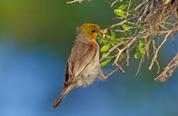 Verdin,  Auriparus flaviceps,adult at nest, Willacy County, Rio Grande Valley, Texas, USA