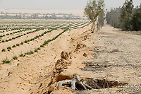 EGYPT, Ismallia , Sarapium forest in the desert, the trees are irrigated by treated sewage water from Ismalia, left desert farm with onions / AEGYPTEN, Ismailia, Sarapium Forstprojekt in der Wueste, die Baeume werden mit geklaertem Abwasser der Stadt Ismalia bewaessert, links Wuestenfarm mit Zwiebeln