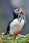 A puffin with a catch of pipefish in its beak proudly walks back to nest to feed the family.