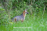 01867-00105 Gray Fox (Urocyon cinereoargenteus) female in field, Holmes Co, MS