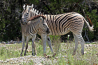 Damaraland zebras are easily identified by the brown 'shadow' stripes between the black-and-white stripes on their coats. Usually the stripes on the legs do not run all the way to the hooves. A plains zebra.