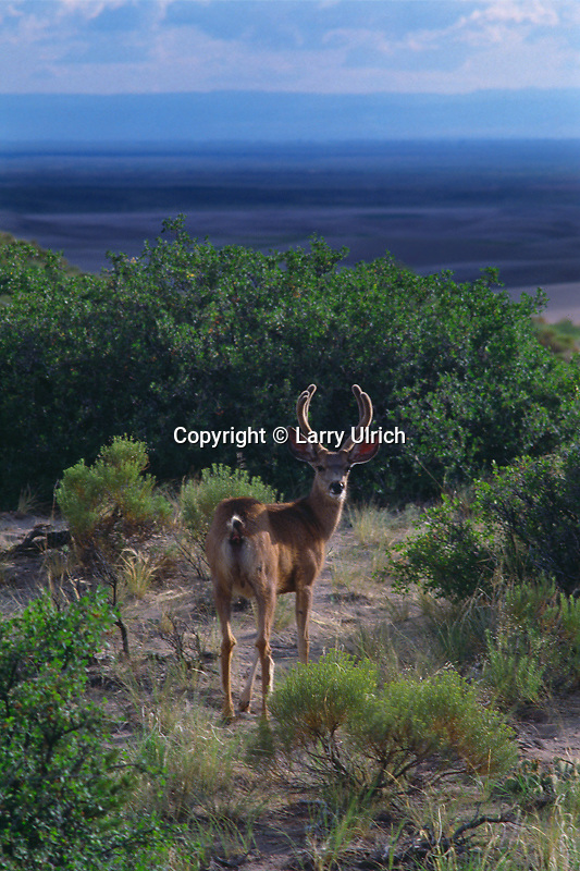 Mule deer buck<br />
