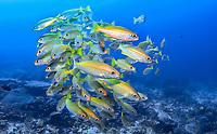 Swarm of Goldband fusiliers, Pterocaesio chrysozona, Koh Bon Wall, Mu Ko Similan National Park, Andaman Sea, Indian Ocean, Similan Islands,South East Asia, Thailand