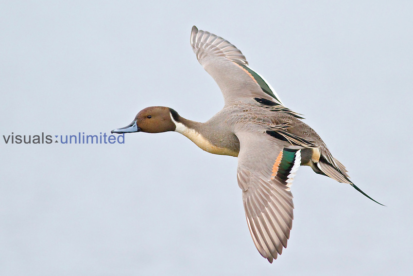 Northern Pintail (Anas acuta) flying, Victoria, BC, Canada.