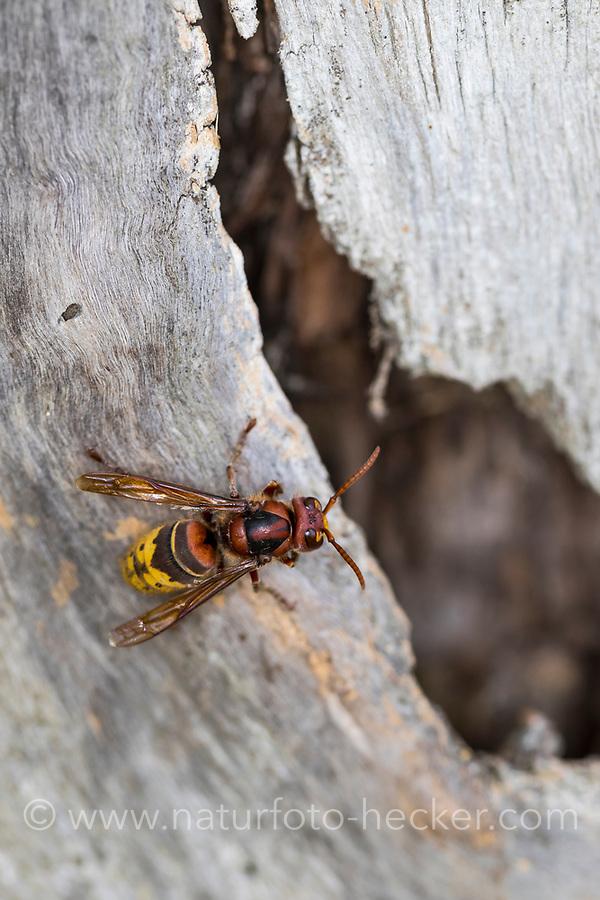 Hornisse, am Eingang zum Nest in altem Baum, Baumhöhle, Hornissennest, Hornissen, Vespa crabro, hornet, hornets, brown hornet, European hornet, Le frelon européen