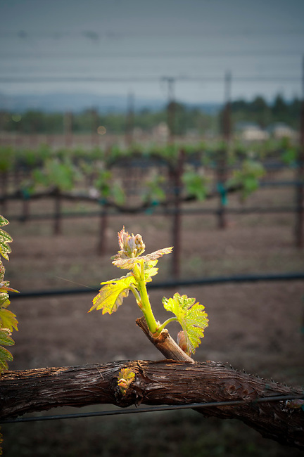 Bud break in Napa Valley