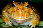 Giant Horned Frog, Albino, Genus: Ceratophrys, eyes, face, funny, smiling, . ....