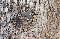 Yellow-throated Warbler (Dendroica dominica), male, Sinton, Corpus Christi, Coastal Bend, Texas, USA