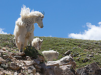 Mountain goats may be seen in the Beartooth Wilderness just outside of Yellowstone.